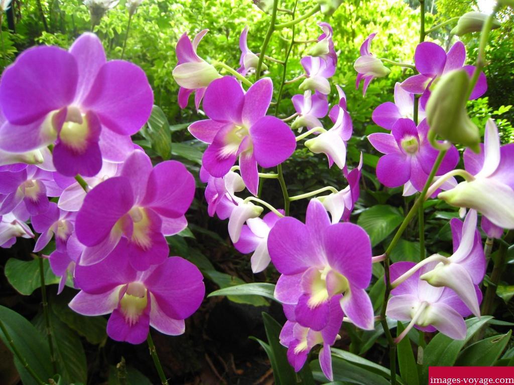 Singapour, Orchidée